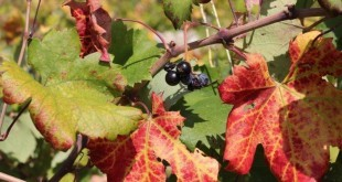 Boje jeseni na Peljescu (31)