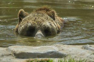 medvjed u vodi